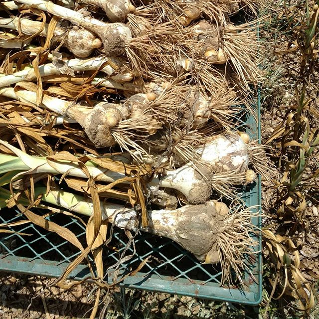 Phew! Digging elephant garlic out of rock hard dry dirt when it's 93 degrees is…. rough!