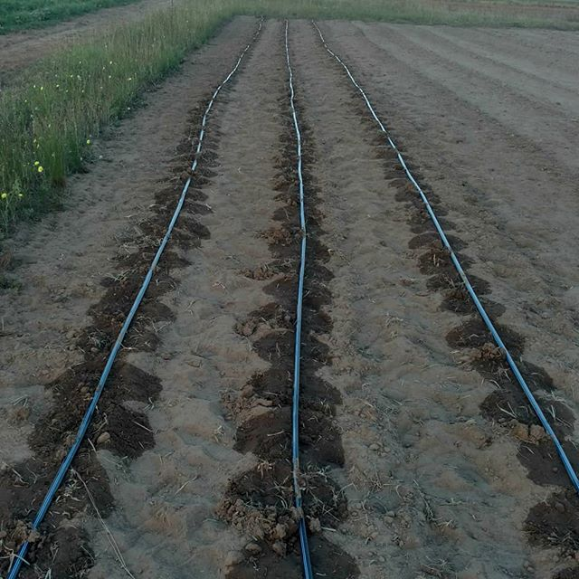 """When you're in """"near drought"""" conditions, drip tape irrigation is your very, VERY good friend. Right now, it's the only thing keeping from looking like the 30's dustbowl!"""