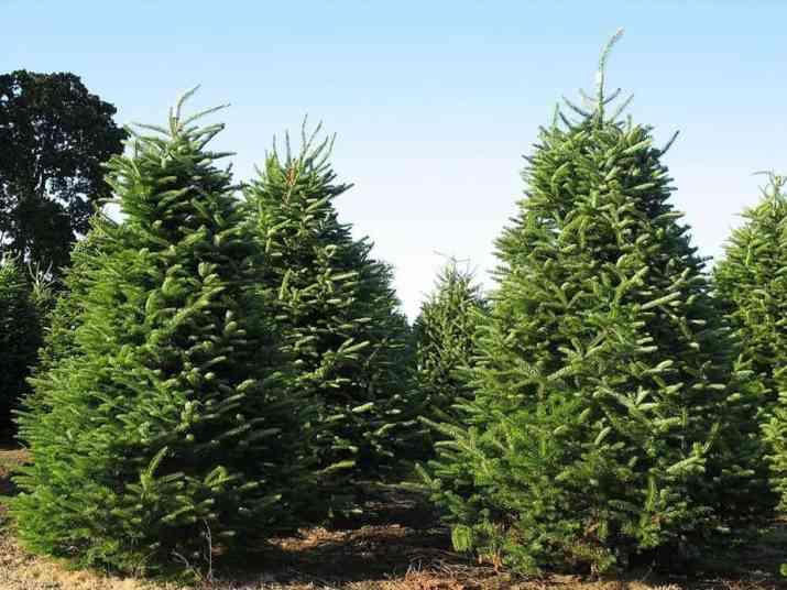 The Balsam Fir Tree