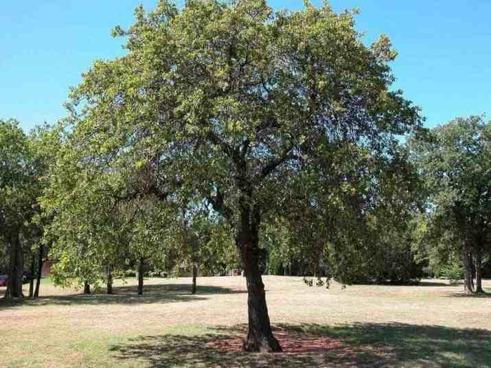 The Black Oak Tree