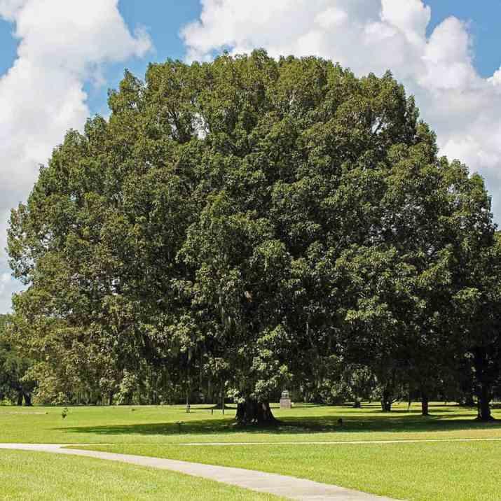 The Chestnut Oak Tree