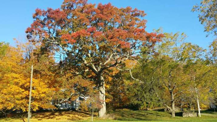 The Northern Red Oak Tree