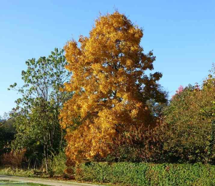 The Shagbark Hickory Tree