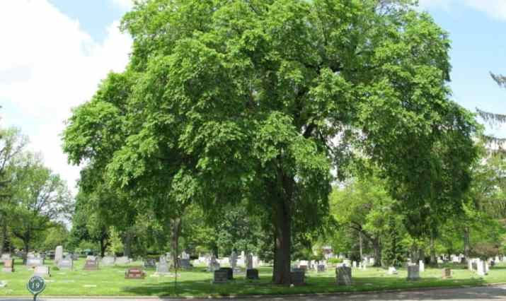The Slippery Elm Tree
