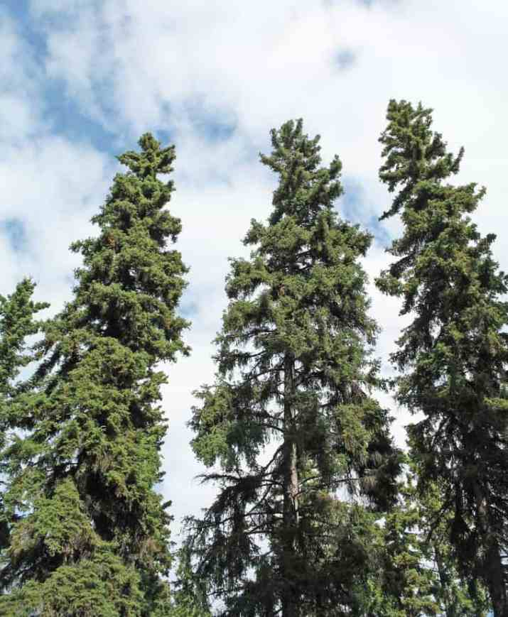 The White Spruce Tree
