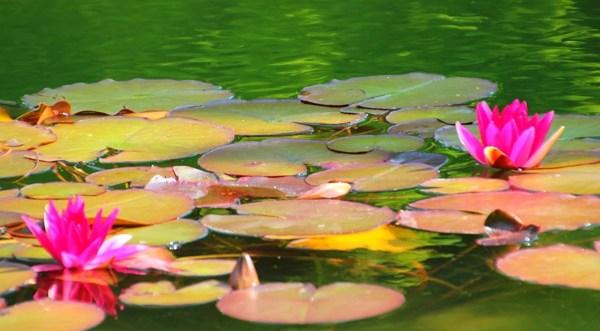 «Водные цветы. Лотос.» — карточка пользователя Смородинка ...