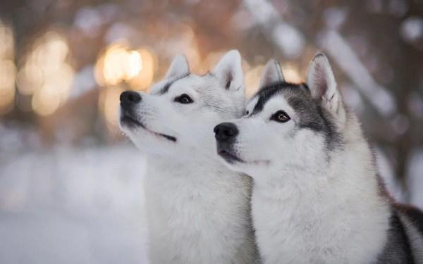«Картинки собаки, хаски, зима» — карточка пользователя ...
