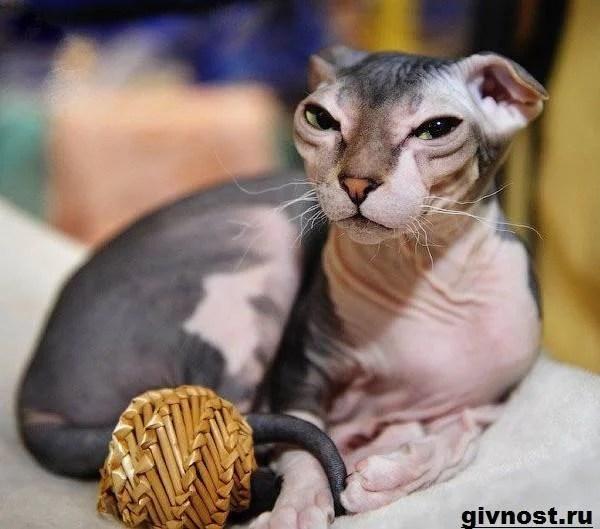 171Украинский левкой кошка 187 карточка пользователя Яна И