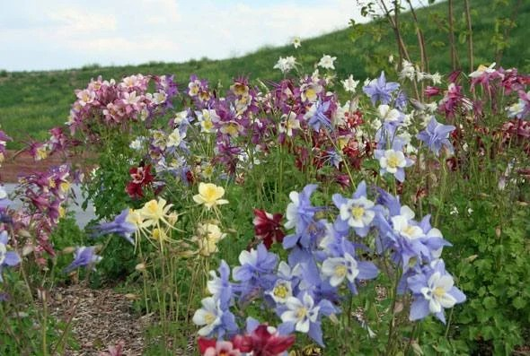columbine flowers facts and growing tips the spruce - 1024×683