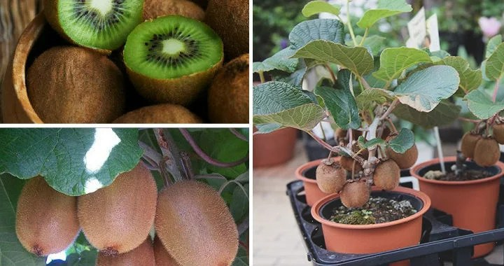 How to grow kiwi from a small seed: Rules of growing tropical fruit at home