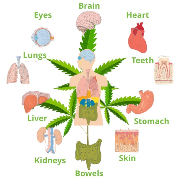 How CBD works with the Endocannabinoid System