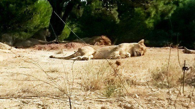 Los leones descansando plácidamente.