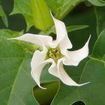 600px-Datura_stramonium_white_flower