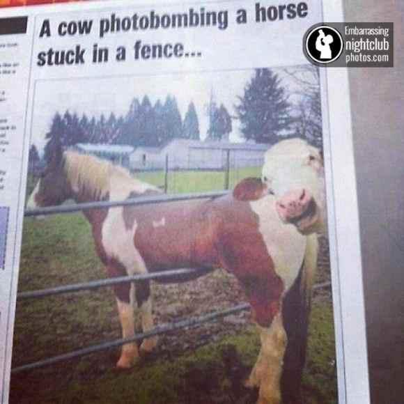 vaca mitra