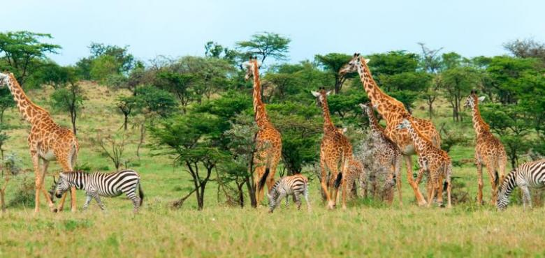 Africa-Kenya-Savannah-Giraffes-and-Zebras-LT-Header