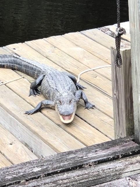 New Orleans Gator