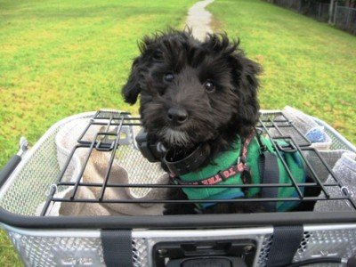 How to Gently Train Your Dog to Go On Bike Rides With You. Here is a dog in an Axiom Dual Function Premium Pet Bike Basket. Notice how the spring loaded top keeps the dog secure in the basket