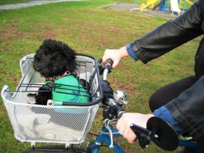 It didn't take Billy long to (almost) start enjoying his ride in his new Axiom Dual Function Premium Pet Bike Basket