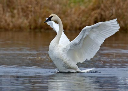 The trumpeter swan we spotted in Colony Farm on the Poco Trail