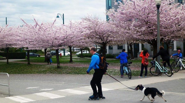 Cherry blossom trees in bloom along the Stanley Park Seawall Bike trail