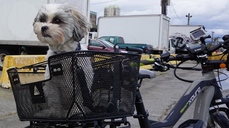 Ripley in her Axiom Dual Function Premium Pet Basket.How to Carry your Dog Safely on Your Bike in a Pet Basket
