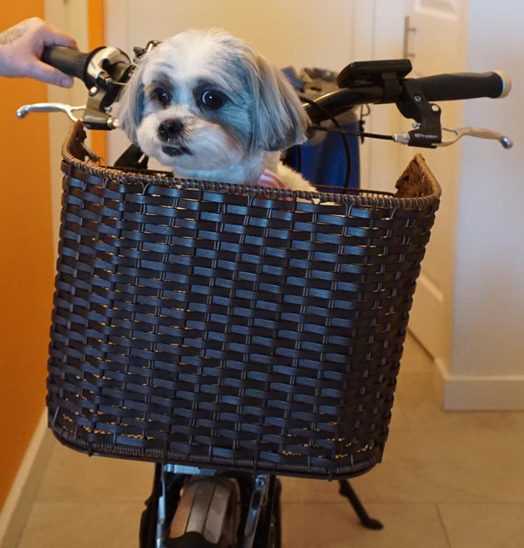 Ripley did not love the wicker pet basket. How to Carry your Dog Safely on Your Bike in a Pet Basket