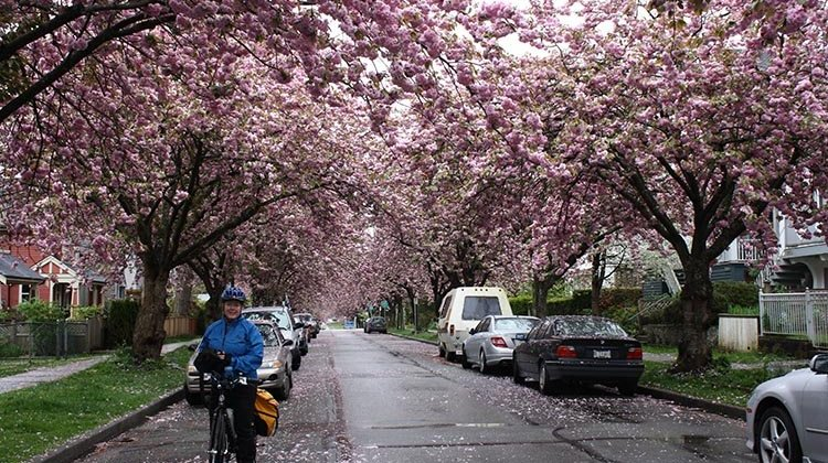Mrs. Average Joe Cyclist (Maggie) and I really love being able to cycle in Vancouver. In spring, there is the added bonus of beautiful cherry blossoms. Amazing evolution of Vancouver cycling infrastructure