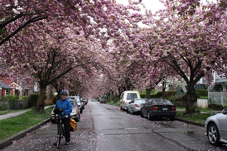 The Amazing Evolution of Vancouver Cycling Infrastructure. Mrs. Average Joe Cyclist (Maggie) and I really love being able to cycle in Vancouver. In spring, there is the added bonus of beautiful cherry blossoms. Amazing evolution of Vancouver cycling infrastructure