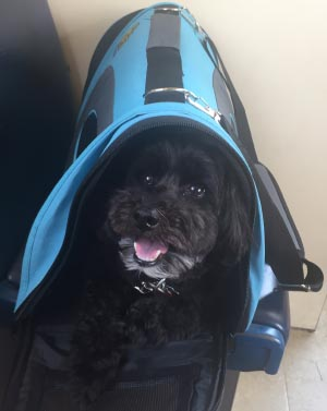 Billy in his pet carrier on the train. 5 of the Best Dog Bike Baskets