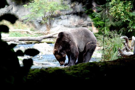 Immersive Black Bear Habitat at Woodland Park Zoo Seattle