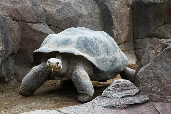San Diego Zoo Tortoise