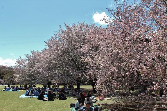 People sitting under Cherry Blossom trees at Shinjuku Gyoen in Tokyo 2013