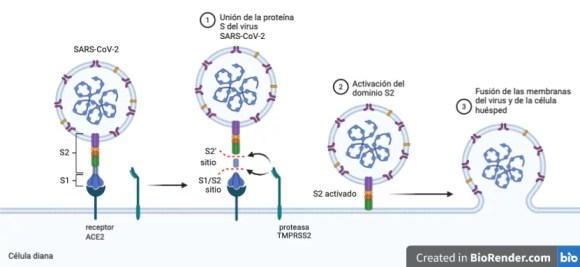 sars-cov-2 y células
