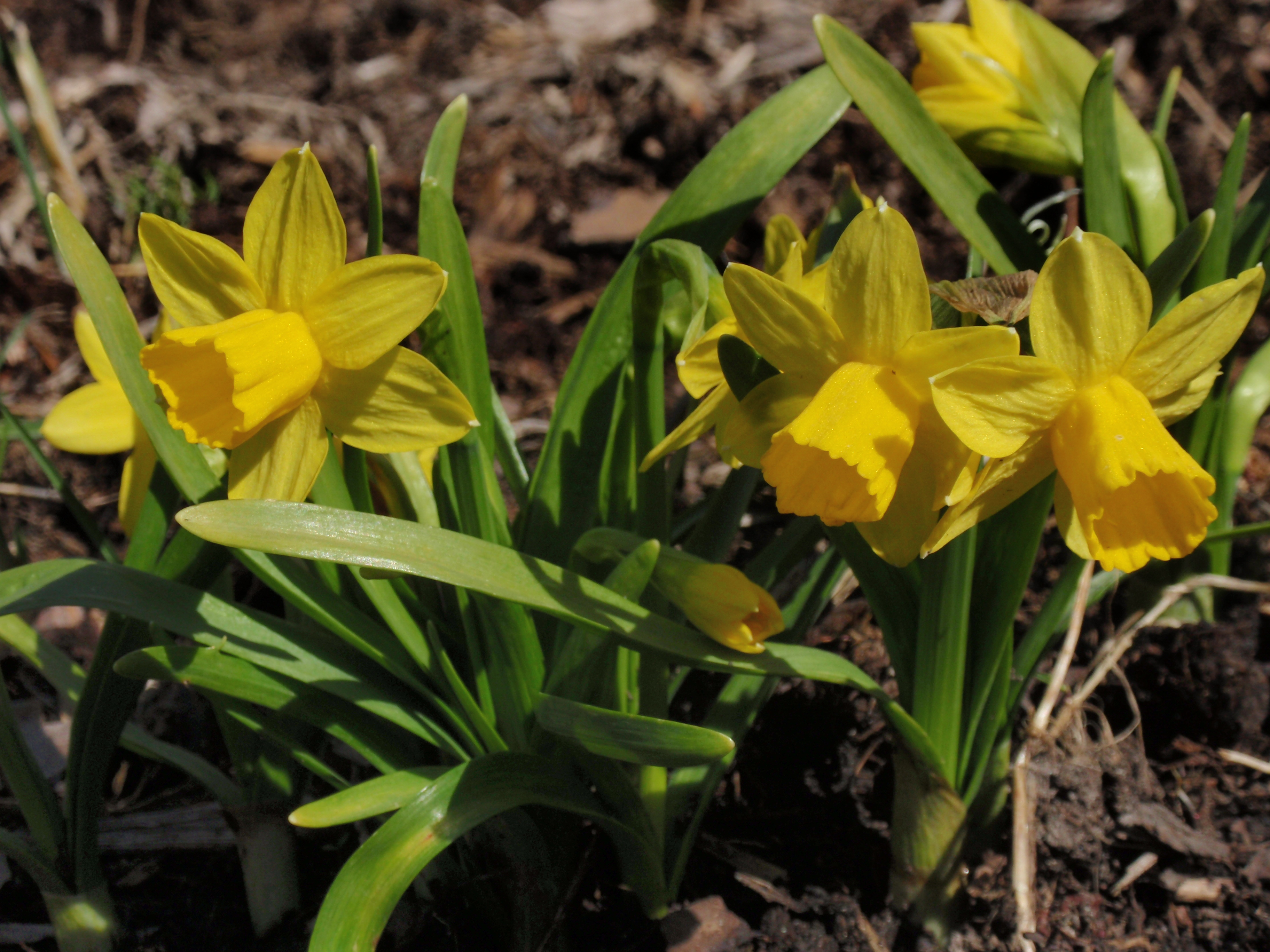 Tiny Daffodils 2009