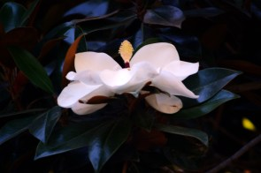 Magnolia, 35