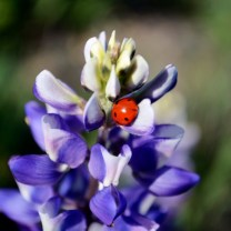 purple lupin
