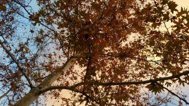 yellow-maple-ojai-2-avevalencia.jpg