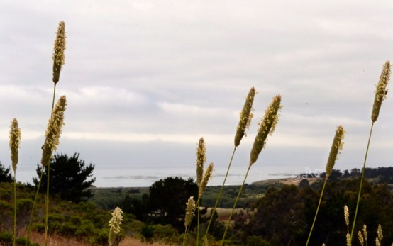 cattails, cloudy sky and ocean, Cambria California