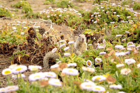 Curious squirrel among flowers, Cambria California