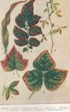 Признаки калийного голодания у растений