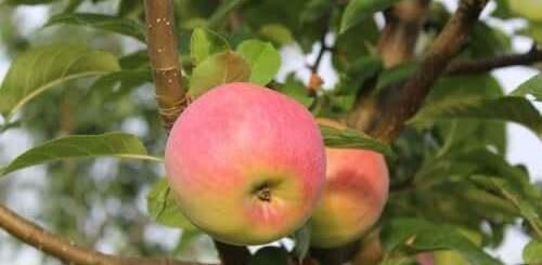 Агротехника выращивания яблок и груш
