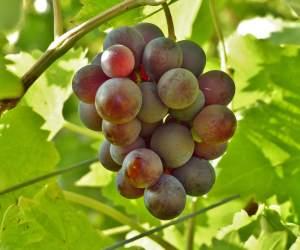 Подкормка винограда: расчет оптимального количества удобрений