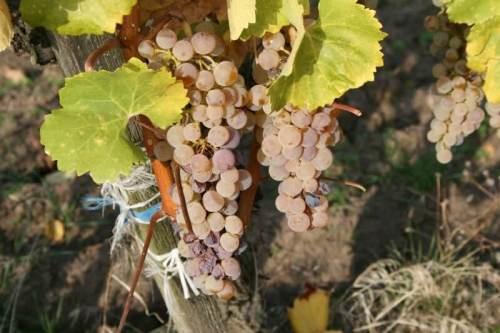 Подкормка винограда: виды удобрений и дозировка