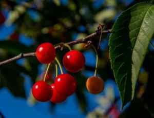 Уход за вишней - приёмы агротехники