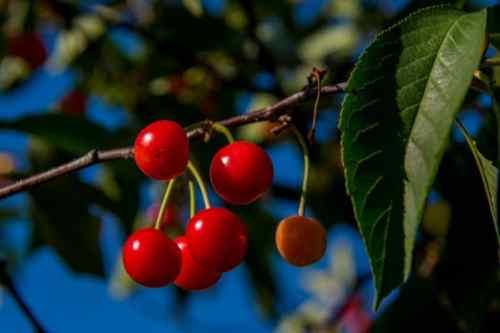 Как сохранить завязь вишни