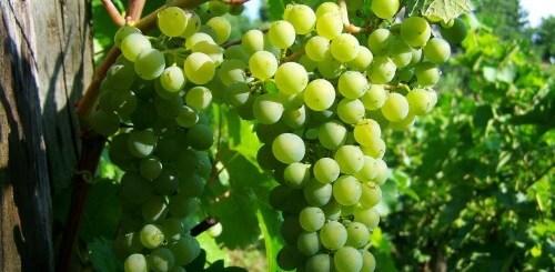 Как увеличить урожайность винограда