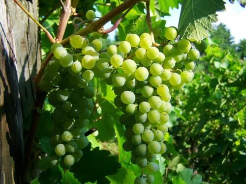 Как правильно подкормить виноград