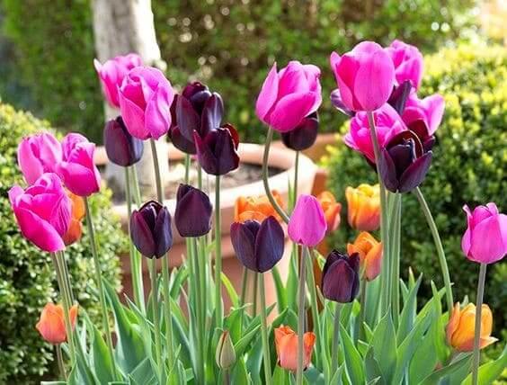 Выгонка тюльпанов к 8 Марта или Новому году пошагово