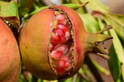 Выращивание граната в открытом грунте: посадка, подкормки, обрезка