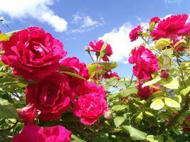 Садовая роза: посадка, подкормки, защита от болезней